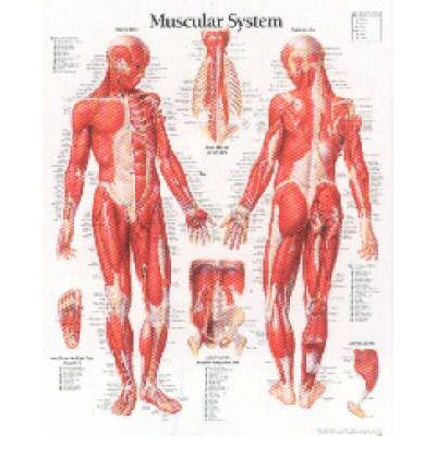 Muscular System Outline