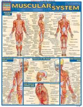 Muscular System Laminate Reference Chart